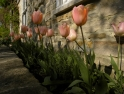 Early sun on tulips