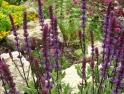 Salvia nemorosa caradonna in front of rockery