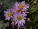 Aster tripoliums Sea Aster