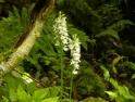 Dactylorhiza fuchsia var. okellyi
