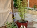 Bamboo, Geranium and Shasta Daisy in pots