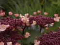Viburnum with backdrop of Miscanthus gracilimus