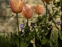 Periwinkle, tulip and cottage stone wall