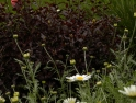 Pittosporum 'Tom Thumb' and Anthemis combine