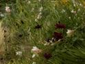 Late summer flowering Chocolate Cosmos and Gaura lindheimeri 'Whirling Butterflies'