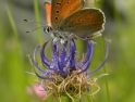 Large Copper on Round-headed Rampion
