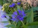 Centaurea (Cornflower) – attractive to butterflies and bees