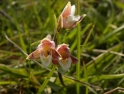 Epipactis palustris Marsh Helleborine