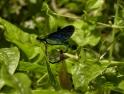 Calopteryx virgo Beautiful Demoiselle Mating